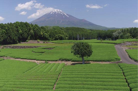 tea-plantation-jomc_p__fmt-jpeg